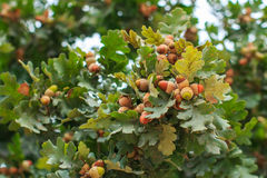 Mognande ekollonar på trädfilial Royaltyfria Foton