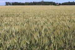 Mognande fält av korn, Sverige Royaltyfri Fotografi