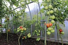 Mognande gräsplan och röda tomater Arkivbilder