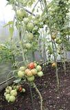 Mognande gräsplan och röda tomater Royaltyfria Bilder