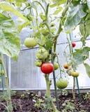 Mognande gräsplan och röda tomater Arkivbild