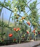 Mognande gräsplan och röda tomater Royaltyfri Fotografi