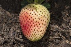 Mognande jordgubbe i en trädgård arkivbild