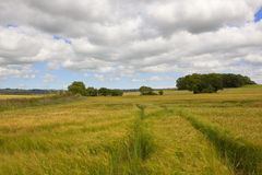 Mognande kornfält Arkivbild