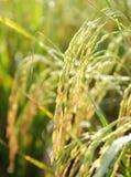 Mognande risfält Arkivfoto