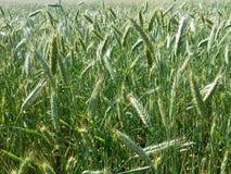 Mognande sädesslag för fält Arkivfoto