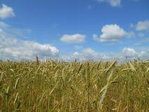 Mognande sädesslag för fält Arkivbild