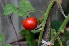 Mognande saftiga tomater på en vinranka Royaltyfria Foton
