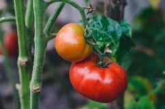 Mognande saftiga tomater på en vinranka Royaltyfria Bilder