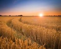 Mognande solnedgång för vete- eller kornfältlantgård royaltyfria foton