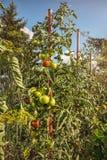 Mognande tomater i en hemhjälpträdgård Arkivbild