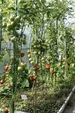 Mognande tomater i ett växthus Arkivfoto