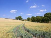 Mognande vetefält och mogna träd i ett sommarlandskap Royaltyfria Foton