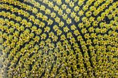 Mognat solrosfrö, textur Autumn Harvest Time arkivfoton