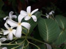 Mogra kwiat jest bardzo istotnymi kwiatami Woń jest bardzo ładna obrazy royalty free