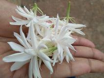 mogra white flowers garden with nature stock photo