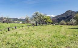 Mogrovejo cattle Royalty Free Stock Photos