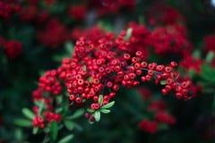 Mohave Pyracantha Firethorn - czerwone jagody zielenieją krzaka obrazy stock