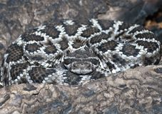 Mohave Rattlesnake Crotalus scutulatus Royalty Free Stock Photos