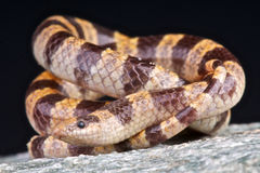 Mohave Shovel-nosed snake Royalty Free Stock Images