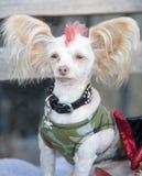 Mohawk Dog Royalty Free Stock Images