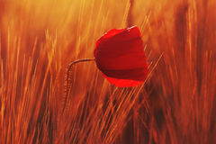 Mohn Stockfotos