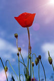 Mohnblume über Sonne stockfotos