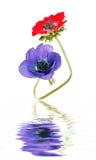 Mohnblume-Anemonen Stockbild