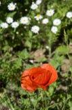 Mohnblume auf dem Gebiet Stockfoto