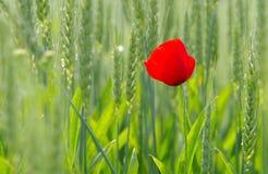 Mohnblume auf dem Weizengebiet Lizenzfreie Stockfotos