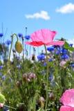 Mohnblume auf dem Wildflower-Gebiet Stockfotos
