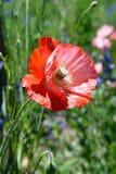 Mohnblume auf dem Wildflower-Gebiet Lizenzfreie Stockfotografie