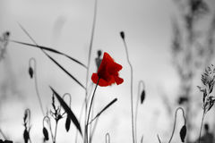 Mohnblume auf einem Gebiet Stockfotografie