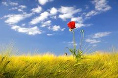 Mohnblume auf einem goldenen Weizengebiet Stockbild
