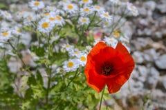 Mohnblume auf einem Hintergrund von Gänseblümchen Stockbild