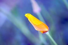 Mohnblume auf einem Lavendelgebiet lizenzfreie stockfotografie