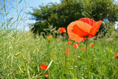 Mohnblume blüht auf grünem Feld am sonnigen Tag Stockfotografie