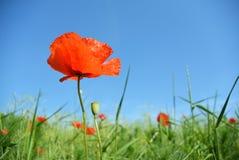 Mohnblume blüht auf grünem Feld am sonnigen Tag Lizenzfreies Stockbild