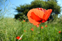 Mohnblume blüht auf grünem Feld am sonnigen Tag Lizenzfreie Stockfotos