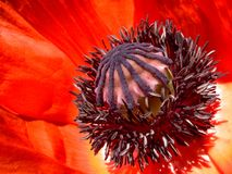Mohnblume-Blume Stockfoto
