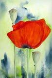 Mohnblume-Blume und Kapsel Stockfotos