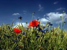 Mohnblume-Blumen Stockbild