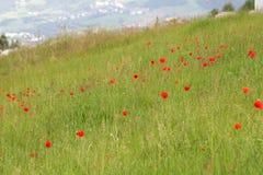Mohnblume-Blumen Lizenzfreies Stockfoto