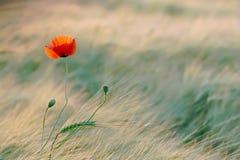 Mohnblume in der goldenen Leuchte der Sonne Stockbilder