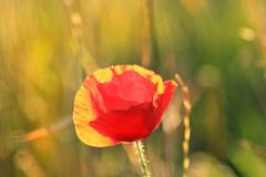 Mohnblume in der Sonne lizenzfreies stockbild
