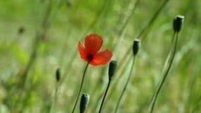 Mohnblume, eine andere Knospe auf dem Weg Rot, zart, Luft, belebende Mohnblume Lizenzfreie Stockbilder