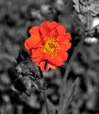 Mohnblume-Farben-Knall Stockbilder