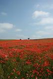 Mohnblume-Feld in der Blüte Lizenzfreie Stockbilder