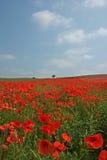 Mohnblume-Feld in der Blüte Lizenzfreies Stockbild