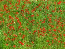 Mohnblume-Feldbeschaffenheit Stockbilder